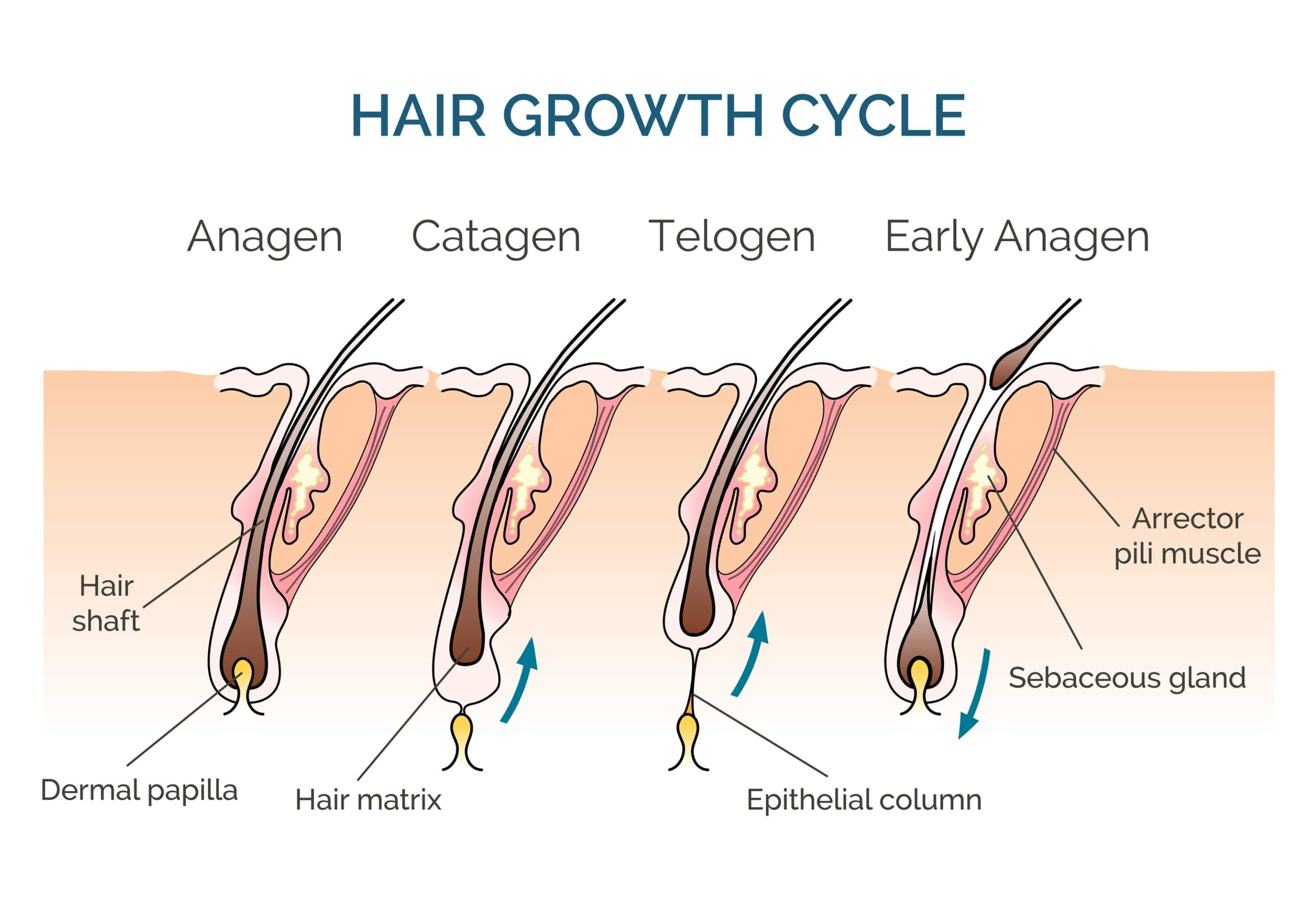 The Hair Growth Cycle: Stages and What it Means for You